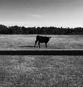 Seth Mason's interesting photo of a cow taken when evacuating Charleston.
