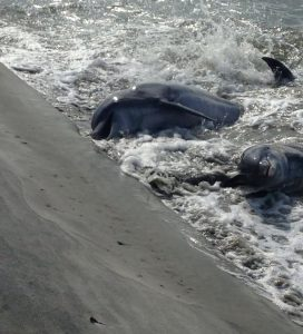 Seth Mason took a beautiful photo of dolphins shore fishing on Folly Beach.