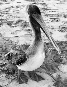 Seth Mason's closeup photo of a pelican in Charleston, SC