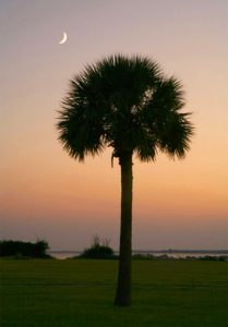 photo of palmetto tree